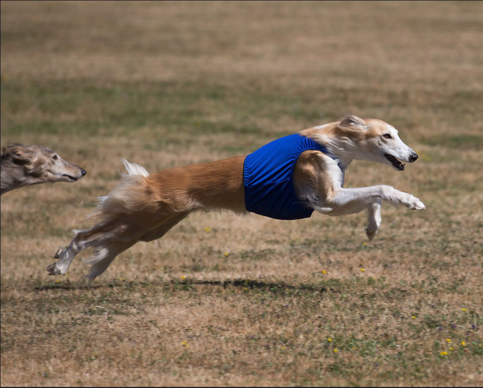 Silken windhound Allegante Lindy Hop straight racing at NW Fest 2015g