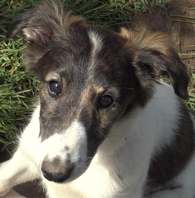 Silkrn windhound puppy spitfire