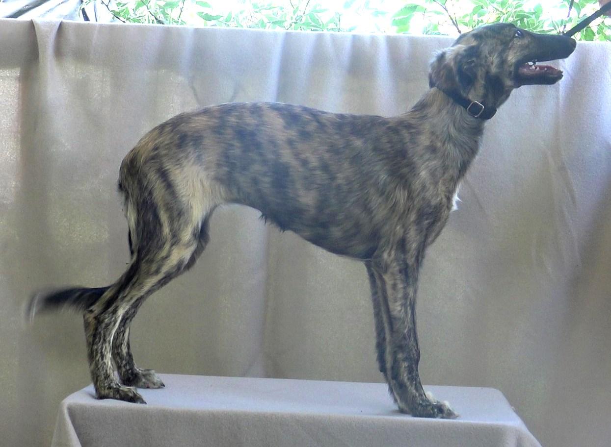 Silken Windhound Zoom standing at 3+ months